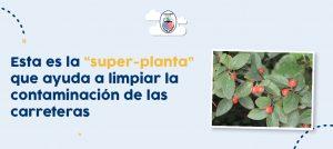 """la """"super-planta"""" que ayuda a limpiar la contaminación de las carreteras"""